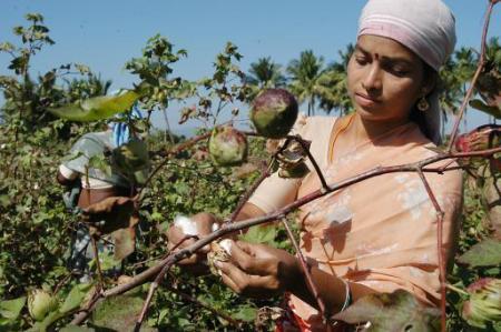 Coltivatrice di cotone indiana