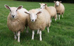 Queste pecore dicono no al mulesing. Per sapere che cosa è il mulesing e dirgli no anche tu, vieni alla mia conferenza!
